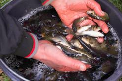 Рибалки випустили у р. Вовча більше 130 кг мальків коропа