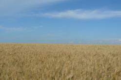 Что посеяли фермеры Павлоградщины в этом году?