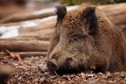 У Павлограді є загроза епідемії африканської чуми свиней