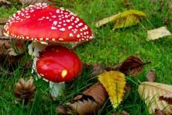 Як запобігти отруєнню грибами?