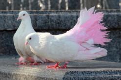 26 марта — выставка-ярмарка голубей в Павлограде