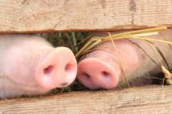 В Павлограде запретили продавать свиней и свинину без документов