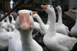 Павлоградец совершил серию краж домашней птицы на Сумщине