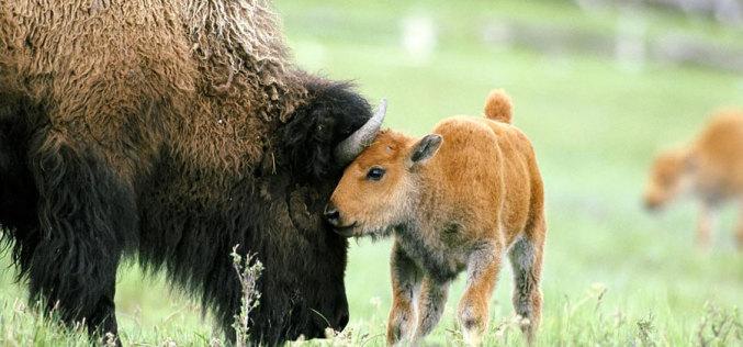 В «заповеднике» Павлоградского химического завода родился бизон