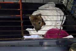 На Павлоградщине волонтёры спасли истощенного волчонка (ФОТО и ВИДЕО)